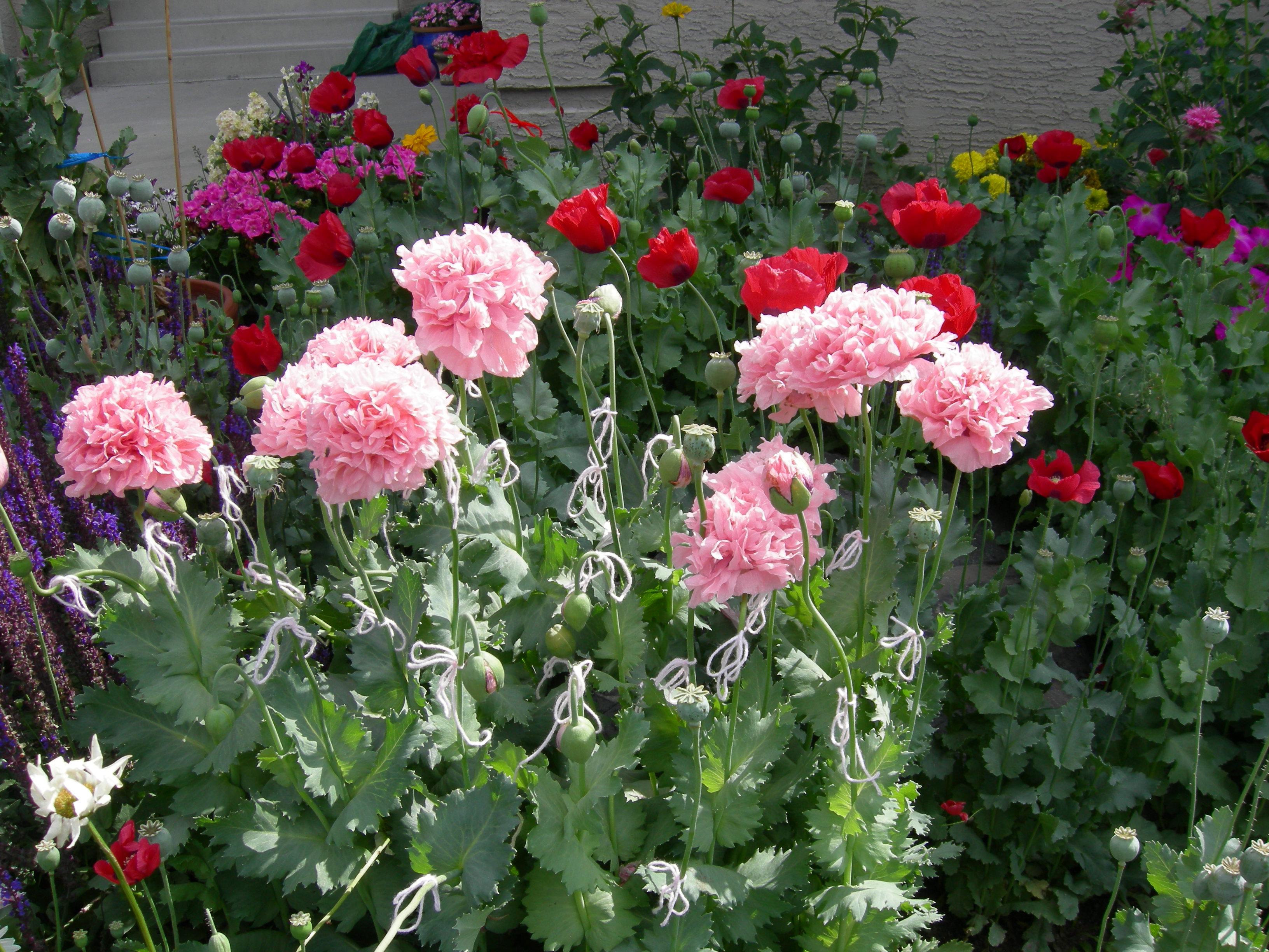 Collecting Poppy Seeds | Wellspring Calgary Community Garden